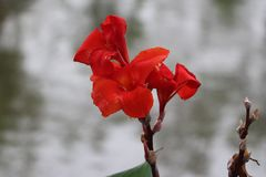 在自然的红颜色美丽的花 库存照片
