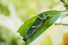 在自然的绿色毛虫 库存照片