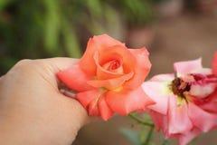 在自然的美丽的玫瑰 免版税库存图片