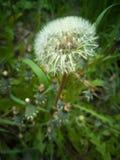 在自然的美丽的白色蒲公英 免版税库存图片
