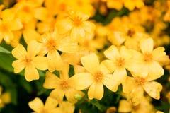 在自然的美丽的黄色花 免版税图库摄影