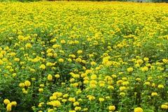 在自然的花万寿菊 免版税库存图片