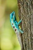 在自然的蓝色鬣鳞蜥 库存照片