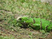 在自然的蜥蜴关闭 免版税库存图片