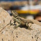 在自然的蜥蜴 免版税图库摄影