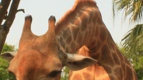 在自然的长颈鹿 股票录像