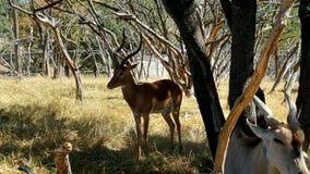 在自然的鹿 库存照片