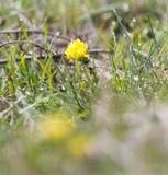 在自然的黄色蒲公英 免版税库存图片