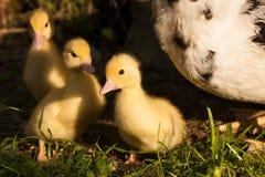 在自然的黄色鸭子步行在春天 库存图片