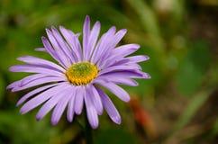 在自然的紫罗兰色春黄菊 库存照片