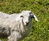 在自然的山羊 免版税库存图片