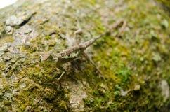 在自然的Lacertilia 库存照片