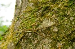 在自然的Lacertilia 库存图片