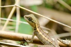 在自然的Lacertilia 免版税库存图片