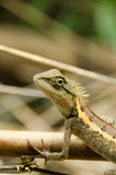 在自然的Lacertilia 免版税库存照片