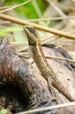 在自然的Lacertilia 免版税图库摄影