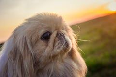 在自然的Pekingese狗 库存图片