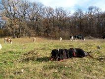 在自然的Rottweiler,春天 免版税库存照片