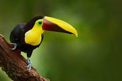 在自然的Toucan 图库摄影