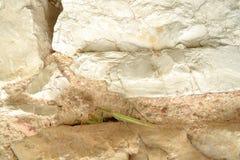 在自然石墙上的螳螂 免版税库存图片