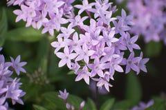 在自然绿色庭院的紫罗兰色Ixora花 库存照片