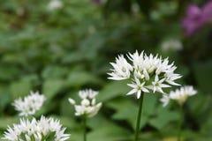 在自然绿色背景的白色野生蒜花开花 免版税库存照片