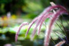 在自然背景与日落的隔绝的美丽的紫色禾本科草花特写镜头  免版税库存照片