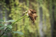 在自然背景的干红色玫瑰 干死的花红色玫瑰 免版税图库摄影