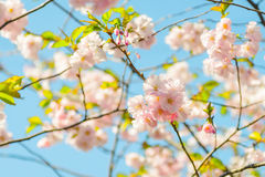 在自然背景的开花树 下雨 弹簧恢复 库存图片