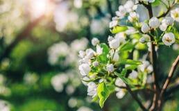 在自然背景的开花树 与开花的树、太阳和雪的美好的自然场面 免版税库存照片