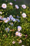 在自然背景的桃红色,蓝色春黄菊 库存图片