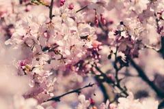 在自然背景的樱花或佐仓花 库存图片