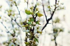 在自然背景的樱花 免版税库存照片