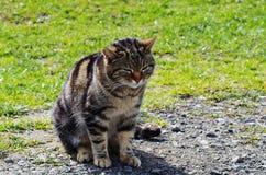 在自然背景的猫 免版税库存图片