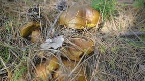 在自然背景的蘑菇 股票视频