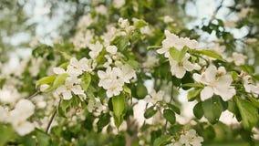 在自然背景,春天的开花苹果开花 影视素材
