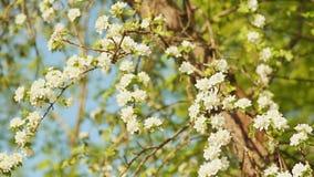 在自然背景,春天的开花苹果开花 股票视频
