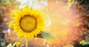 在自然背景,横幅的大向日葵 库存照片