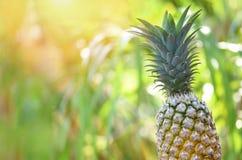 在自然背景-关闭的新鲜的菠萝菠萝热带水果夏天 免版税库存照片