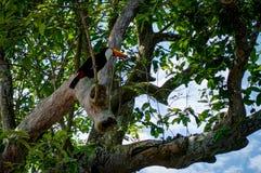 在自然设置的异乎寻常的toucan鸟在伊瓜苏瀑布附近在福兹d 免版税图库摄影
