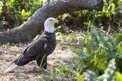 在自然设置的白头鹰 库存照片