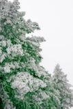 在自然雪盖的自然圣诞树 免版税库存照片