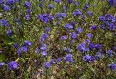 在自然领域加利福尼亚的紫罗兰色野花 库存照片
