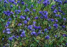 在自然领域加利福尼亚的紫罗兰色野花 免版税图库摄影