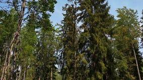 在自然风景的出色的意见在夏日 与绿色树,灌木,天空蔚蓝背景的植物的森林风景 影视素材