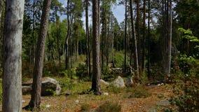 在自然风景的美丽的景色从岩石森林小山 高大的树木,绿色植物,黄色草 股票录像