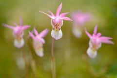 在自然,在森林加力骚曲bulbosa的兰花,美丽的桃红色兰花,芬兰的艺术视图 开花的欧洲地球狂放的orc 库存照片