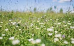 在自然,花草甸的绿草和春黄菊花,反弹花卉风景 免版税库存照片