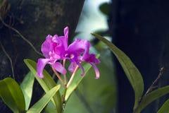 在自然绿色背景的桃红色兰花 库存图片