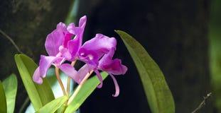 在自然绿色背景的桃红色兰花 免版税库存照片